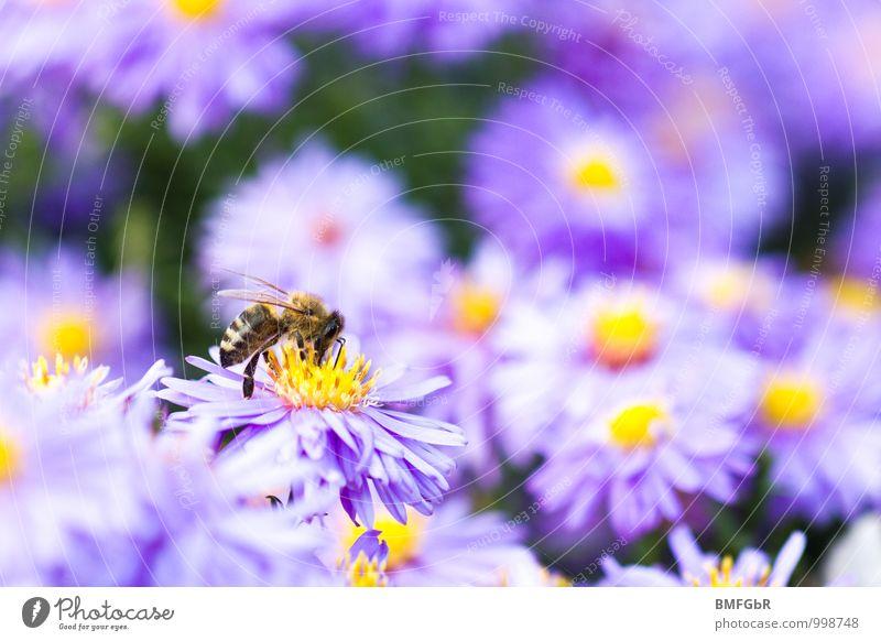 Bienenblüte Umwelt Natur Pflanze Tier Sommer Blume Blüte Garten Park Wiese Nutztier 1 Schwarm Blühend Duft krabbeln schön violett Tierliebe gewissenhaft fleißig