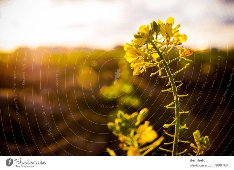 Raps Natur Pflanze Sonne Sonnenaufgang Sonnenuntergang Sonnenlicht Blume Blüte Nutzpflanze Rapsblüte Rapsfeld Feld Blühend Wachstum authentisch elegant