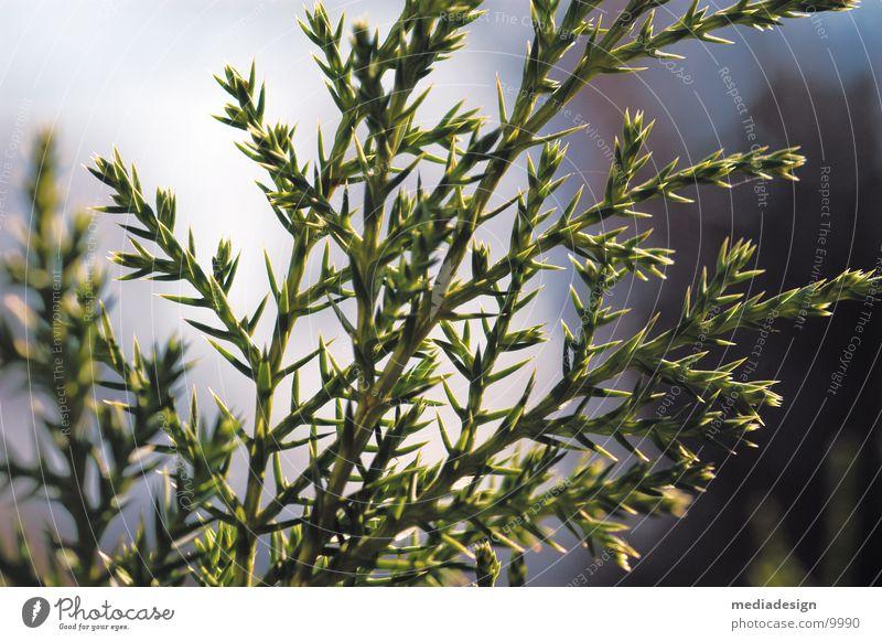 strauch Baum grün Sträucher Stachel Dorn