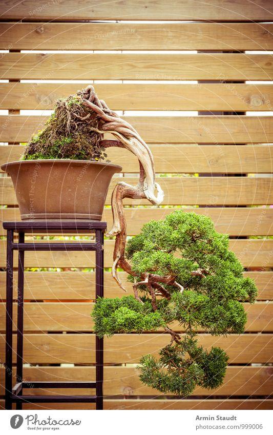 BONSAI! Design exotisch Kultur Natur Pflanze Baum alt Wachstum ästhetisch außergewöhnlich natürlich braun grün Gefühle Leidenschaft geduldig Senior anstrengen