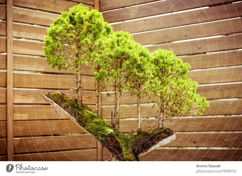BONSAI! Natur alt Pflanze schön grün Baum Gefühle natürlich außergewöhnlich braun Wachstum Zufriedenheit ästhetisch Kultur Ewigkeit Asien