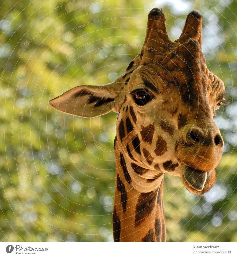 Ey noch immer gugst DU? grün Freude Tier gelb Ernährung Stil lachen braun lustig groß Ohr Zoo lang was Schönes Wetter grinsen