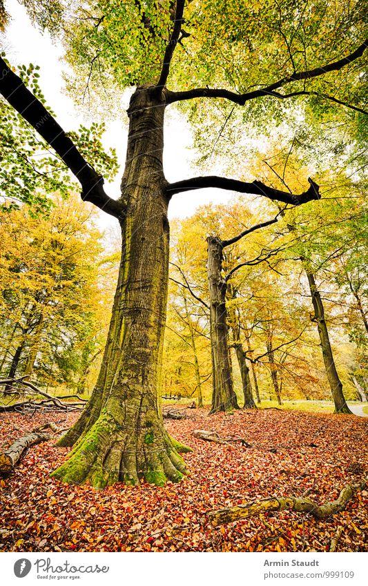 HDR Aufnahme - Herbst Wald Umwelt Natur Landschaft Baum Buche Buchenwald Herbstlaub Waldboden stehen verblüht dehydrieren ästhetisch authentisch außergewöhnlich