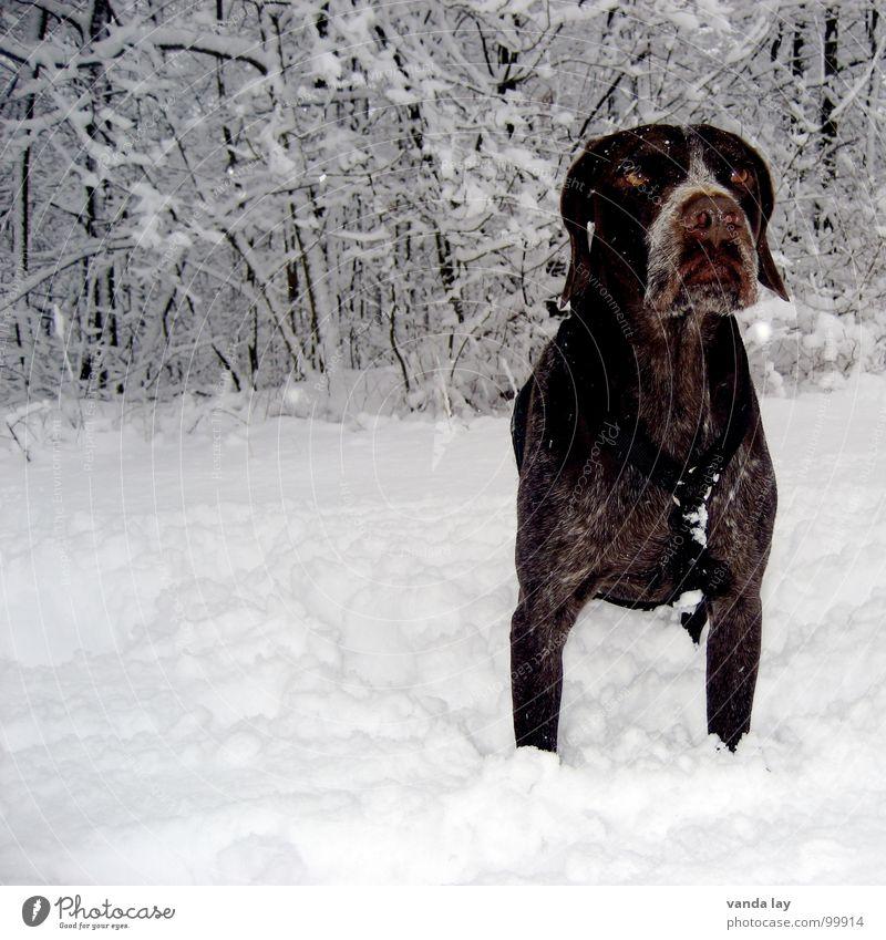 Kalte Pfoten Hund Winter Tier Wald Auge kalt Schnee Luft Eis Wetter Schilder & Markierungen Sträucher Spaziergang Ast Vertrauen Jagd