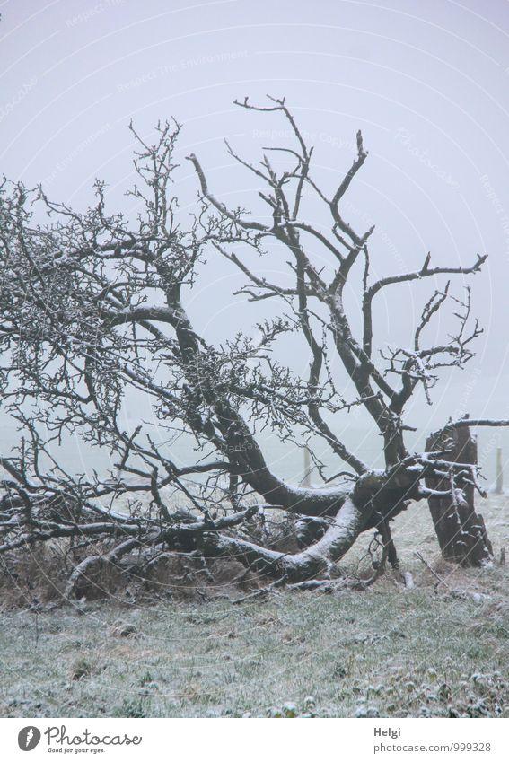 Ruhe nach dem Sturm... Umwelt Landschaft Pflanze Winter Nebel Schnee Baum Gras Baumstamm Ast Wiese frieren liegen authentisch außergewöhnlich kalt natürlich
