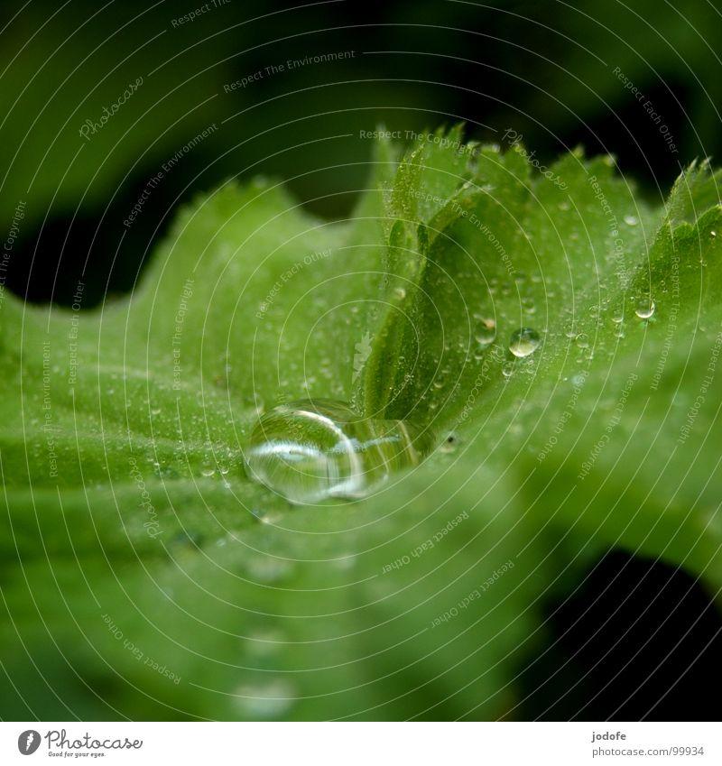 ..raindrops.. Regen nass feucht Lupeneffekt Blatt grün Sommer Frühling Herbst frisch Pflanze Erfrischung rein Regenwasser Nieselregen Wassertropfen