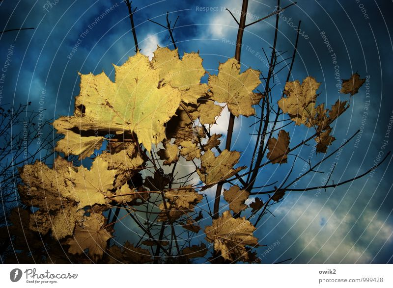 Blattsalat Umwelt Natur Pflanze Himmel Wolken Herbst Ahornblatt Ahornzweig Zweige u. Äste dehydrieren dunkel nah trocken Herbstfärbung Herbstlaub Farbfoto