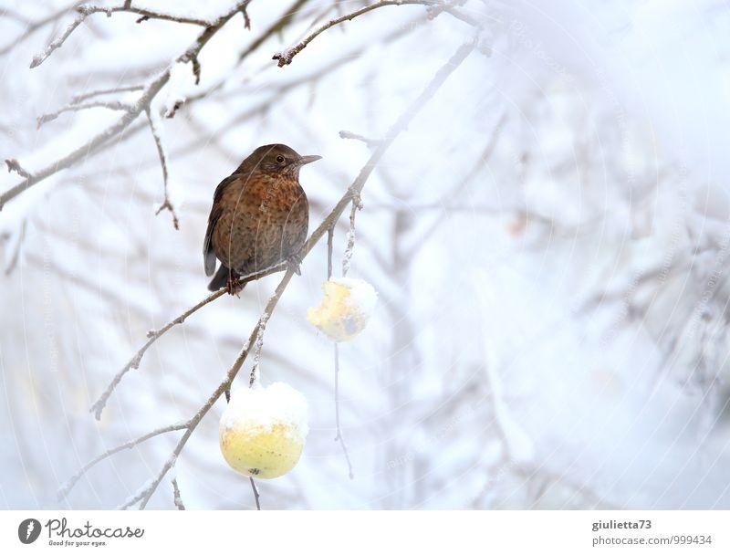 Frau Amsel hat Hunger Umwelt Natur Winter Schnee Baum Nutzpflanze Obstbaum Apfelbaum Garten Tier Vogel Singvögel Drossel 1 Fressen frieren hocken sitzen warten