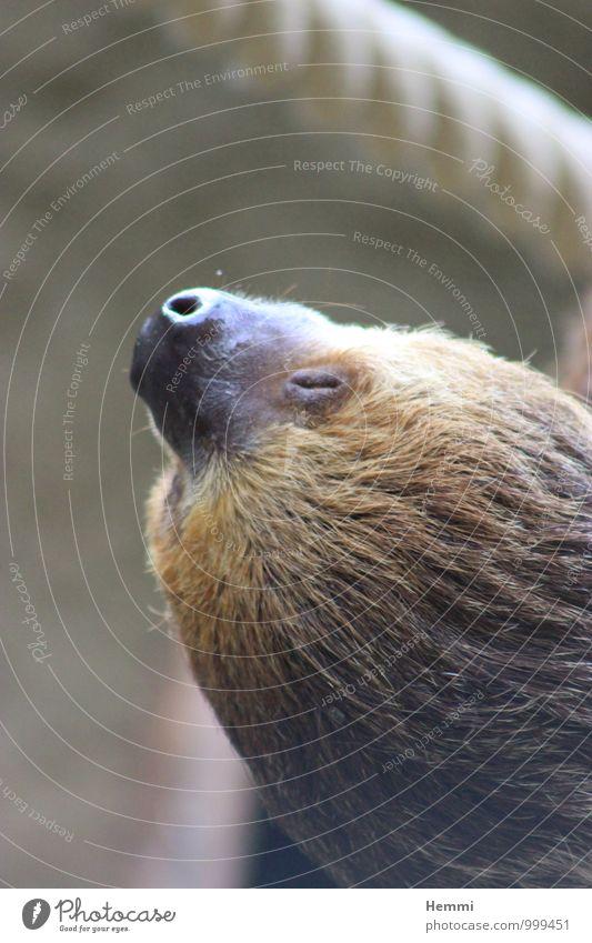 Einfach mal abhängen Tier schwarz braun niedlich Neugier fest Tiergesicht Zoo Streichelzoo Faultiere