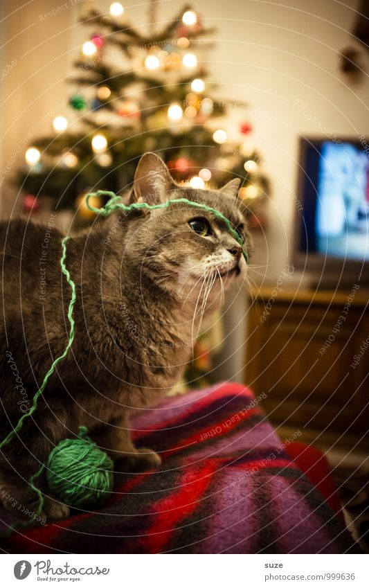 Strickliesl Katze Weihnachten & Advent Freude Tier Spielen Feste & Feiern Stimmung Freizeit & Hobby Häusliches Leben Zufriedenheit niedlich Fernseher Weihnachtsbaum tierisch Haustier Decke