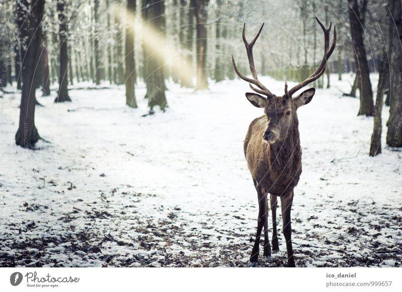 Im Blick Umwelt Natur Landschaft Pflanze Tier Eis Frost Schnee Schneefall Wald Wildtier Hirsche 1 entdecken Erholung Jagd Farbfoto Gedeckte Farben Außenaufnahme