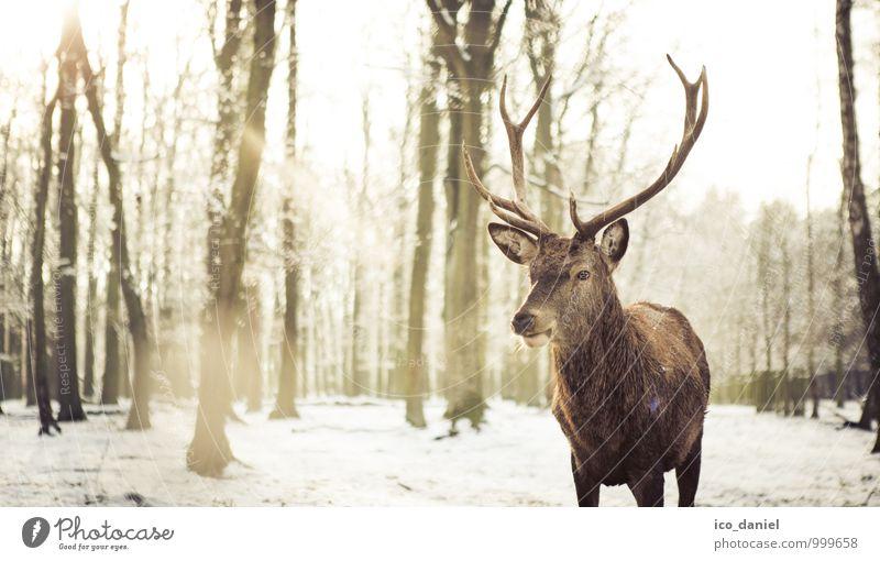 Winterromantik Umwelt Natur Landschaft Pflanze Tier Sonne Sonnenlicht Eis Frost Schnee Schneefall Wildtier Hirsche 1 Gefühle Glück Zufriedenheit Vertrauen Treue