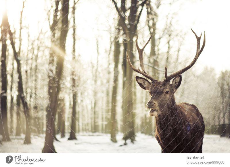 Hirsch I Natur schön Sonne Erholung Tier Winter Wald Bewegung Schnee Glück braun Schneefall Wildtier Tourismus authentisch Klima