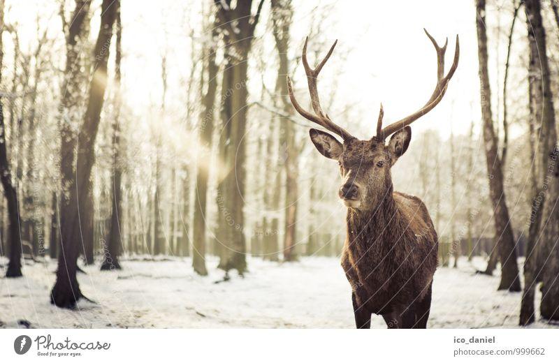 Waidmannsheil III Natur schön Tier Winter Umwelt Schnee Schneefall elegant Kraft Wildtier ästhetisch Coolness Zoo Willensstärke Winterurlaub