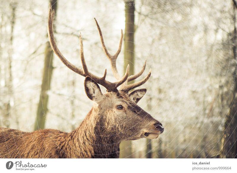 Hirsch II Natur Erholung Einsamkeit Tier Winter Wald Umwelt Freiheit braun Park Freizeit & Hobby Zufriedenheit Wildtier Lebensfreude bedrohlich niedlich