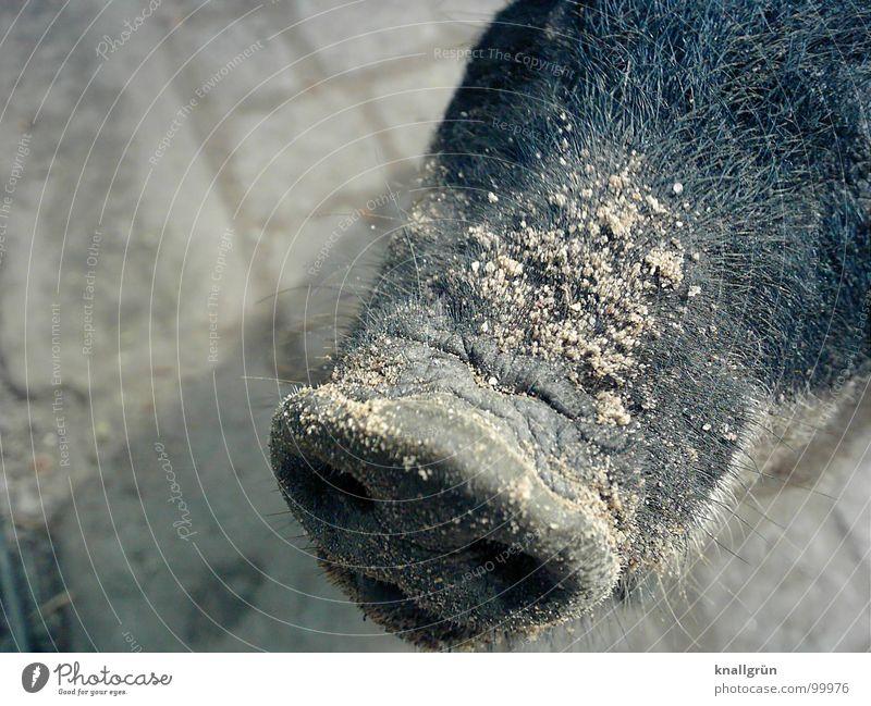 Sand auf Nase Tier grau Zoo Kopfsteinpflaster Säugetier Schwein Steckdose Borsten Rüssel Nasenloch Paarhufer Schweinschnauze