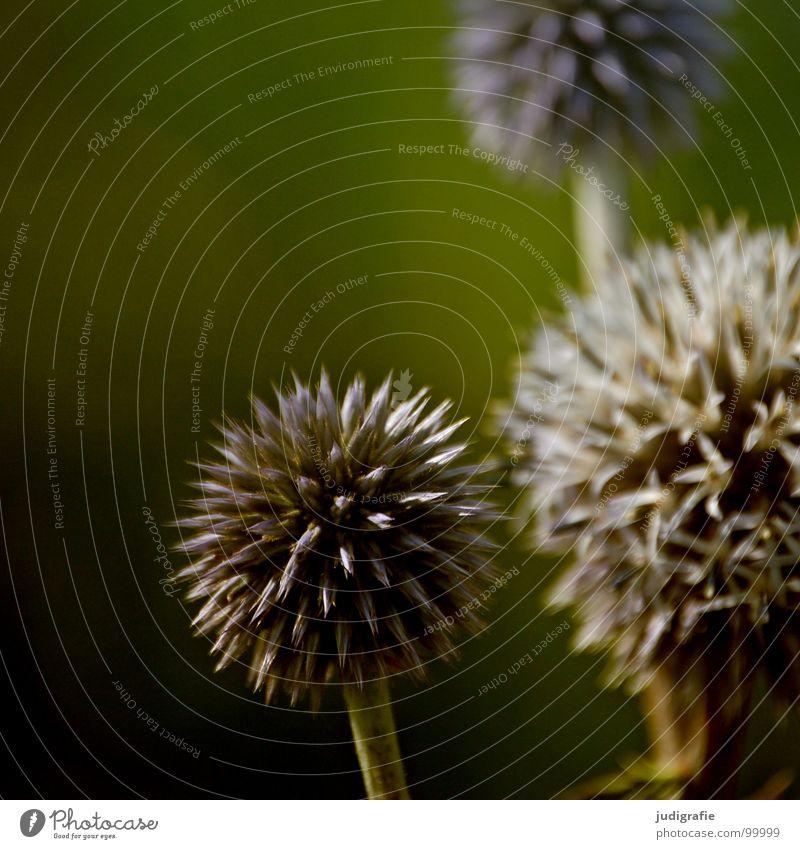 Wiese Natur schön Blume Pflanze Sommer schwarz Farbe Blüte braun Umwelt Wachstum rund einfach Spitze Kugel